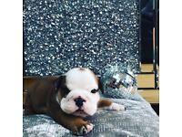 Kc reg stunning bulldog puppies