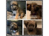 Jackapoo puppies (Lakeland x Miniature Poodle) ***NEW PRICE***