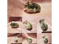 Baby hamsters to sell