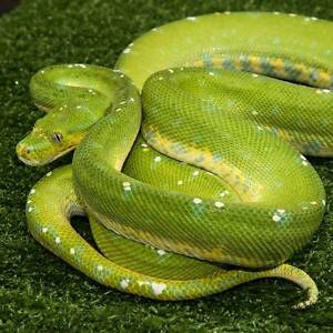 Green Tree Python Howard Springs Litchfield Area Preview