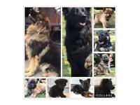 Female German Shepherd, Long Hair Puppy Best Bloodlines