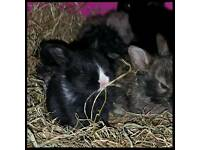 8 Baby bunnys 5 weeks old..