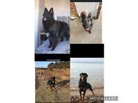 Rottweiler x shepherd puppies