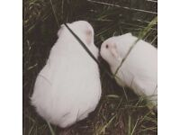 two female guinea pigs, no money, just animals lovers