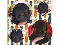 Yorkiepoo ( LAST BOY LEFT ) Yorkshire terrier x poodle