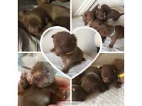 Pomchi Chocolate Puppies (Rare colour)