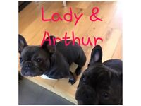 French bulldog pups KC Reg