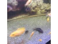Chichlids Malawi yellow lab