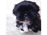 Black Shitzhu Puppy 10 weeks old
