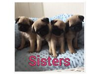 ready now kc registered pug puppies