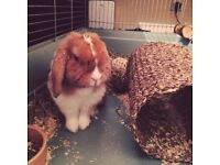 A cute Holland Lop bunny looking for a new home (Free to a good house!)