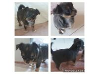 Chihuahua puppies south side (pollok)