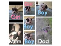 french bulldog pups for sale All KC registered.