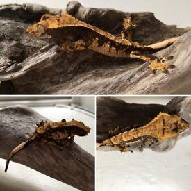 Harlequin juvenile crested gecko