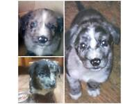 Cute Border Collie & Springer Spaniel Crossed Puppies for sale