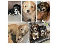 Cockerchon puppies