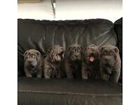 Blue shar pai puppies