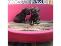 Miniature schnauzer pups , kc registered , 5 generation papers , vet checked with injection, food
