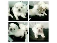 3/4 pug puppie