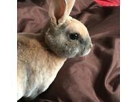 Pure bred Mini Rex Buck