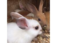 baby bunnies for sale (cute 9 weeks rabbits)