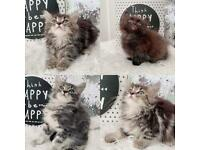 beautiful british short hair cross kittens