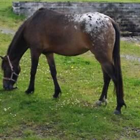 13.1 mare pony