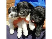 3 very special Schnoodle puppies for sale