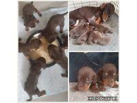 dashound puppies miniture