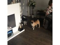 18 month old female pug,
