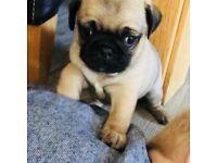 Chunky Pug Puppy 1 Left.