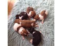 short legged jack russell puppies