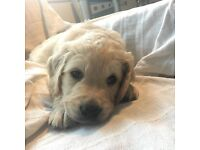 One little girl left! 2nd generation F2 Golden doodle puppies - like labradoodles but goldendoodles!