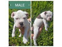 Olde Tyme English Bulldog Puppy