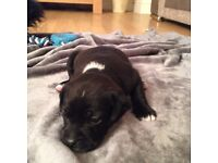 4 pug/poodle Staffie puppies for sale. 1 GIRL LEFT!!!!