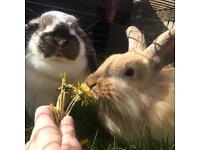 Cute lop eared bunny