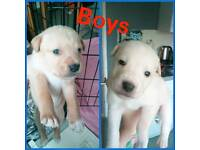 Staffy x pups for sale!!