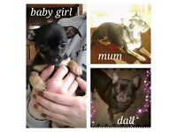 Stunning Tiny Pedigree Chihuahua puppies