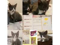 British Short hair x RagDoll Kittens (Male and Female)