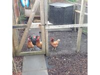 4 Laying hens for sale - 3 Isa Browns, and 1 black hen almost 2 years old and currently laying