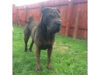 Sharpei for rehoming