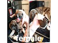 Only 4 stunning akita pups wiv pedigree papers left out litter of 6
