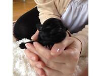 100% Pug puppies for sale. KC registered. Excellent price.