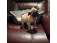 Beautiful healthy little girl pug for sale