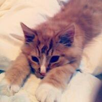 Siberian orange cat for good home
