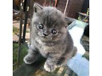 Pedigree Registered British Shorthair Kittens