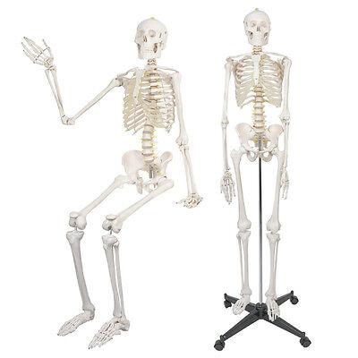 New Life Size Human Anatomical Anatomy Skeleton Medical Model + Stand