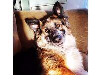 Dog for sale Husky X Collie needing new home