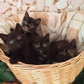 Gorgeous half British Shorthair kittens