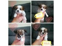 Long haired Chihuahua pups, 2 left